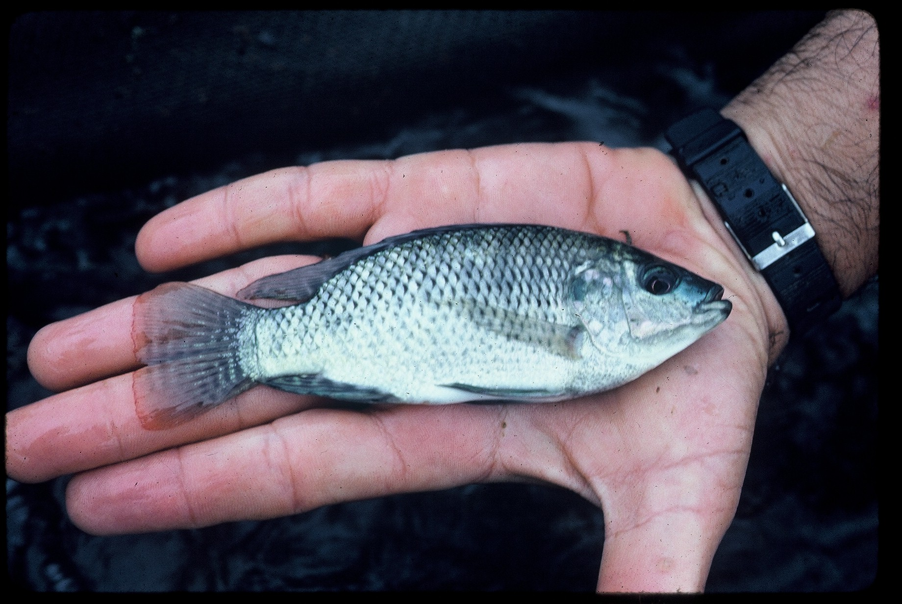 Blue tilapia oreochromis auraeus fish consulting group for Is tilapia a fish