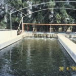 Integrated agriculture and tilapia farming (Wafra, Kuwait)