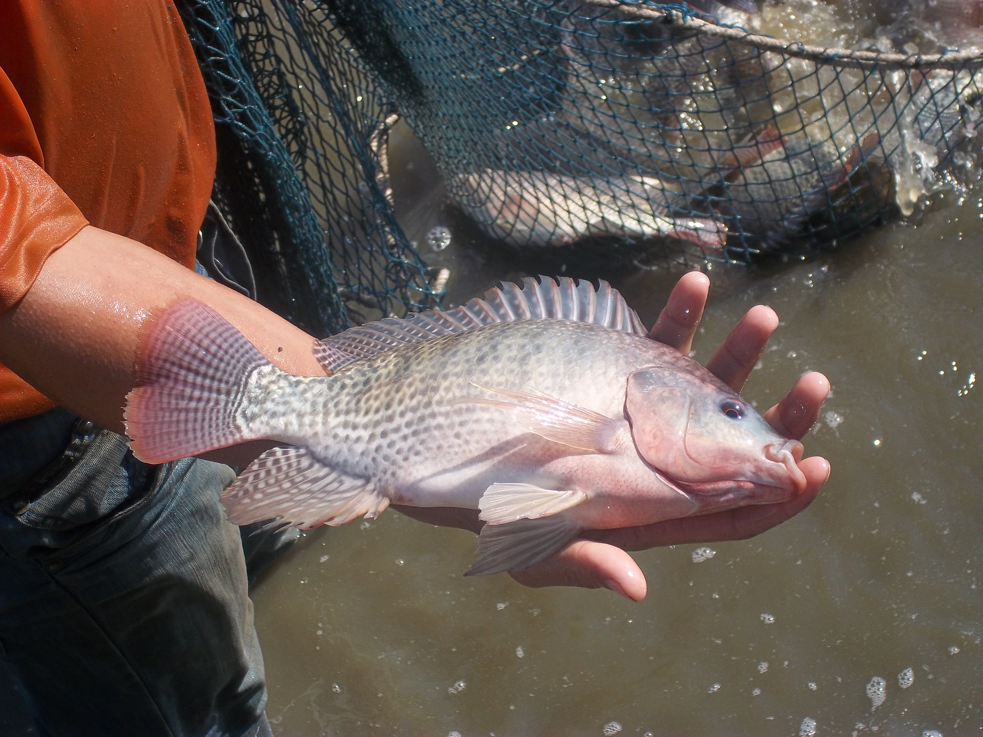 Nile tilapia oreochromis niloticus morphologic for What is tilapia fish