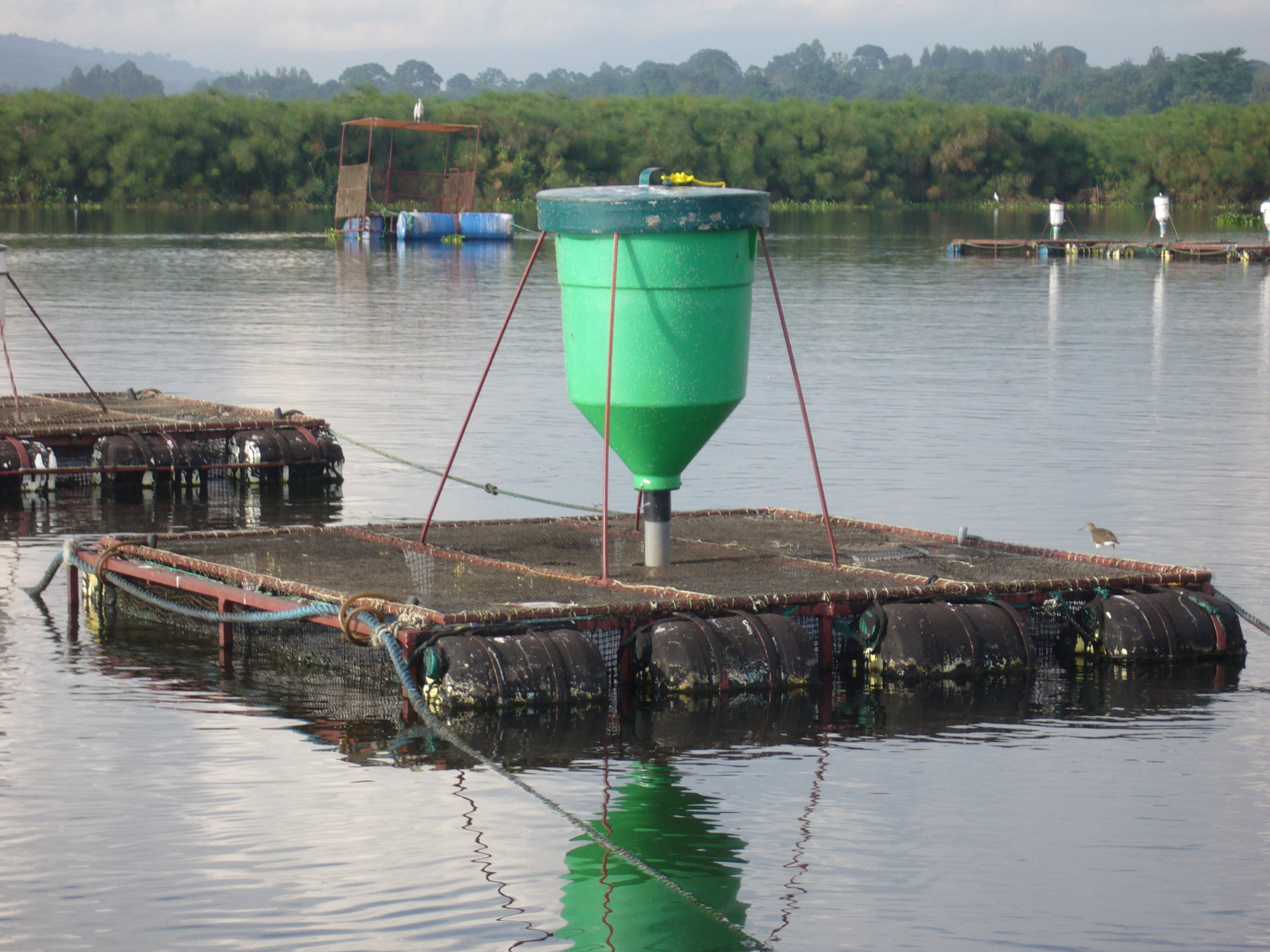 Cage Aquaculture Near The Source Of River Nile In Uganda Fish Consulting Group