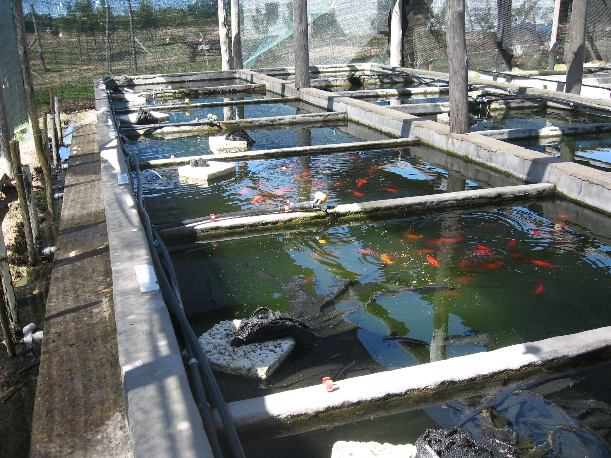 Breeding of ornamental fish in uruguay fish consulting group for Fish breeding tank