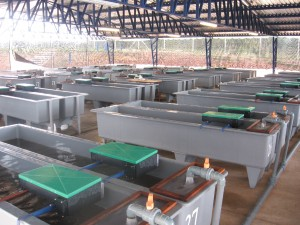A Fish Farm For Meat Production Of Sturgeon Hybrid In