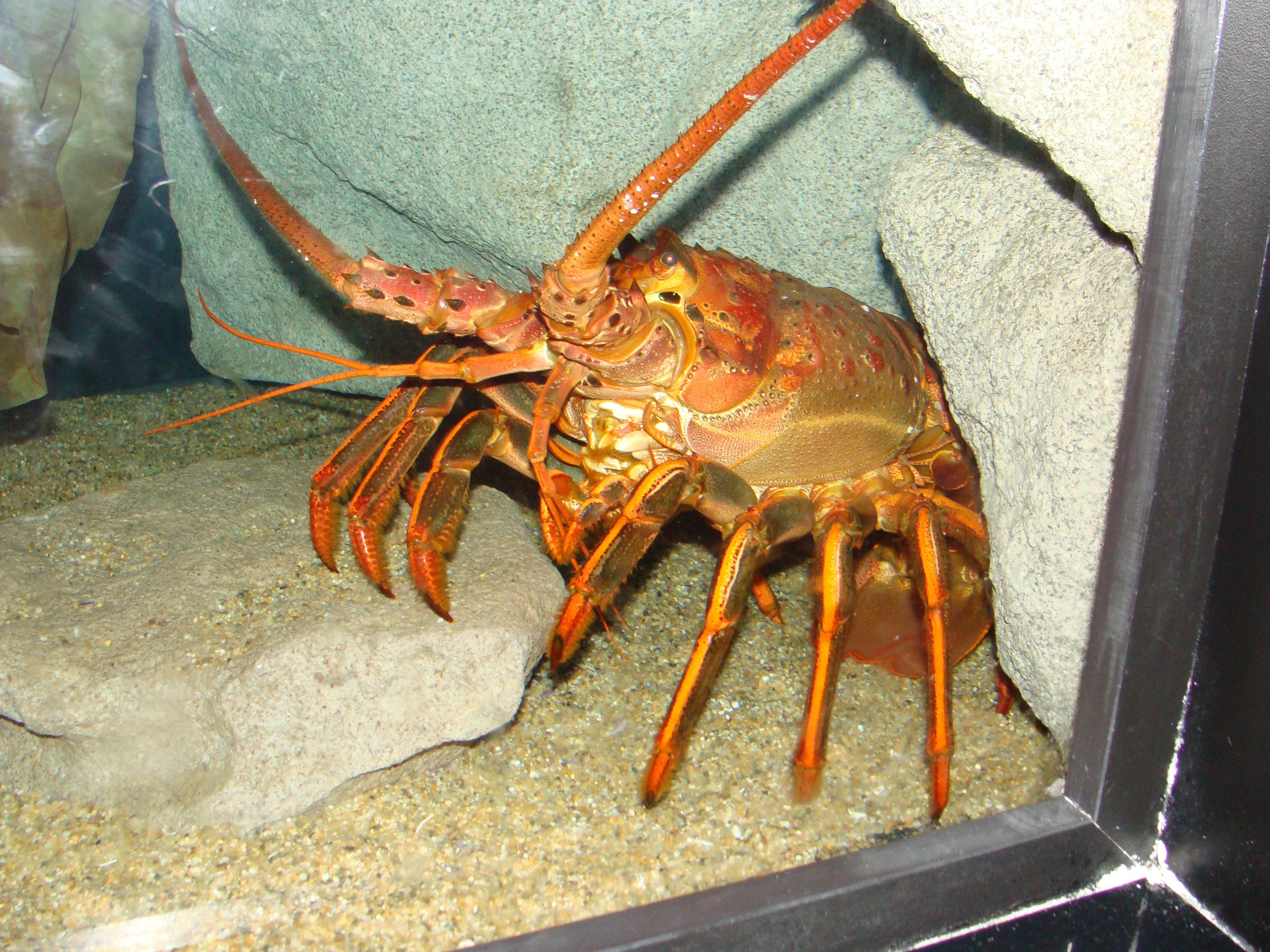 Caribbean spiny lobster migration 84941 notefolio for Lobster fishing california