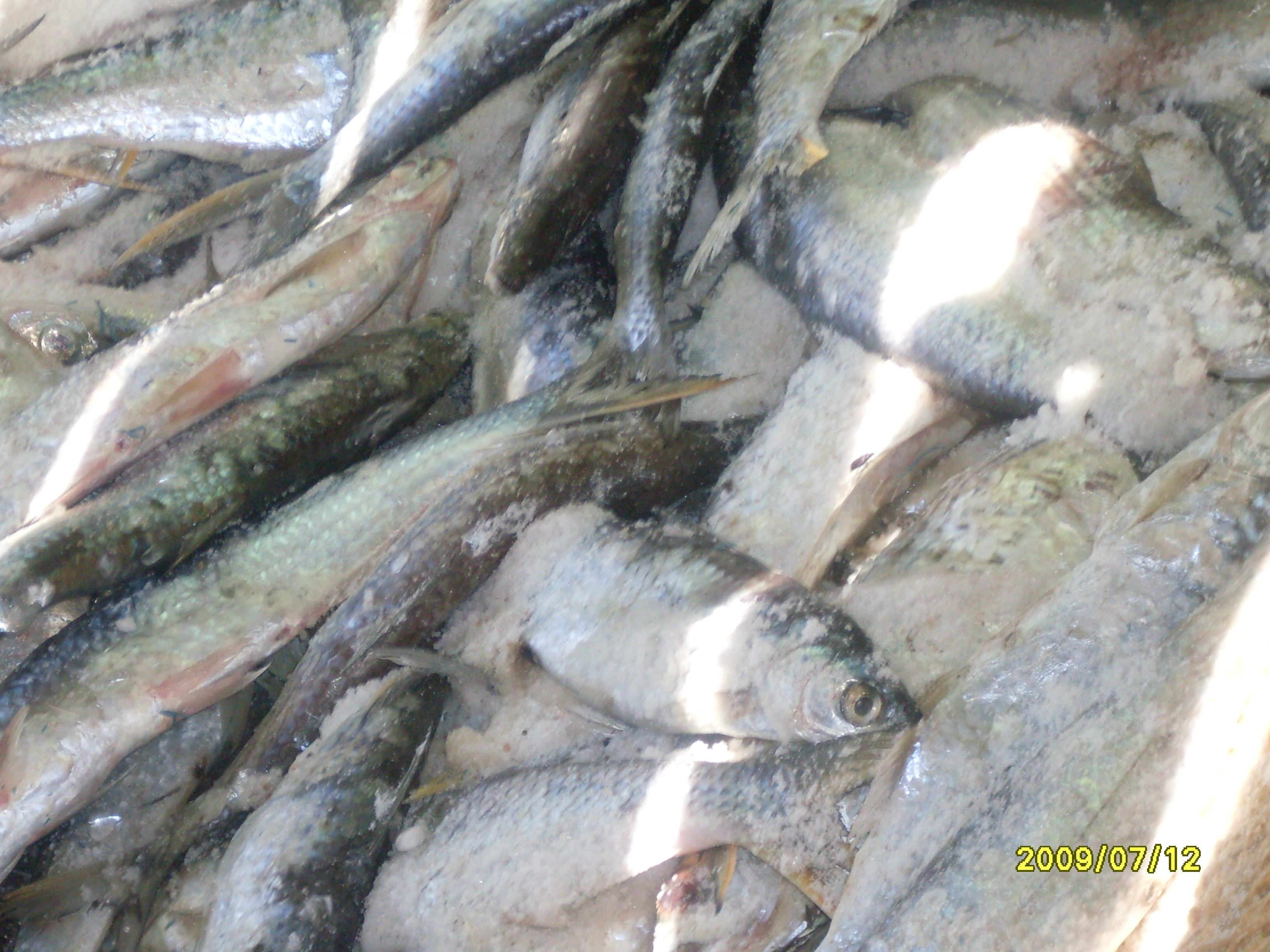Salted fish of lake nasser 39 s fish catch fish consulting for What fish is this