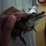 Small  crocodile (LakeNasser)