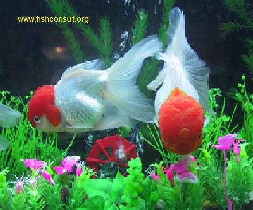 Culture of ornamental fish in srilanka fish consulting group for Small ornamental fish ponds