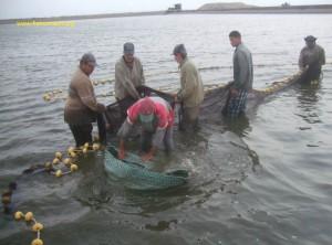 Shrimp harvest (01)