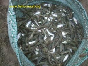 Shrimp harvest (02)