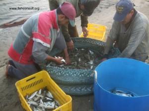 Shrimp harvest (03)