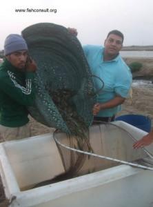 Shrimp harvest (04)