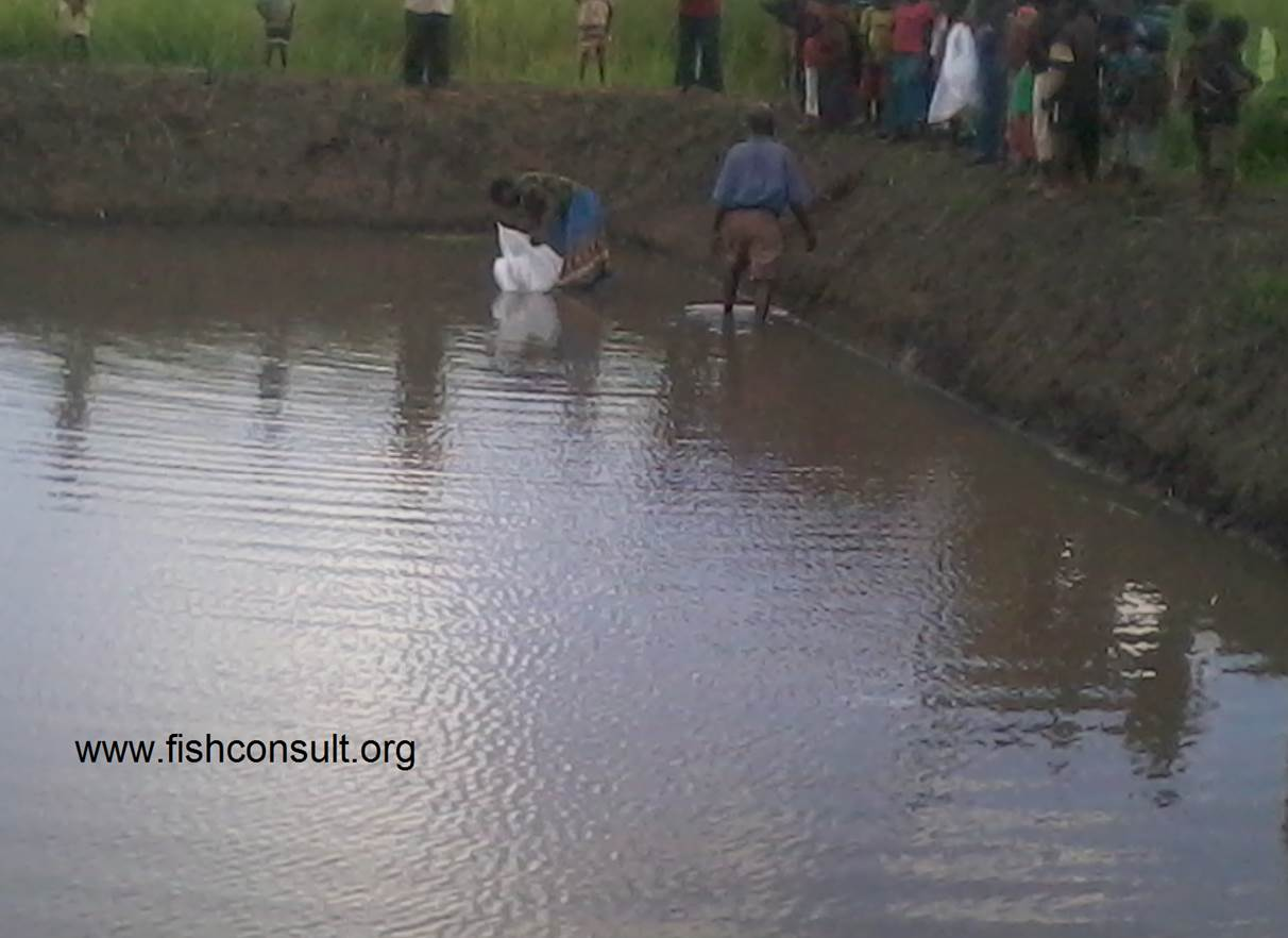 Stocking Fish Fingerlings In A Communal Fish Pond In Nangwangwa Village Nkhotakota Malawi