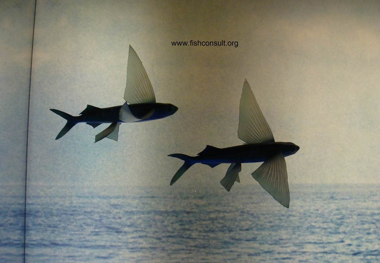 Flying fish description fights feeding reproduction for The flying fish