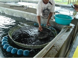 Tilapia grading in the Philippines (01)