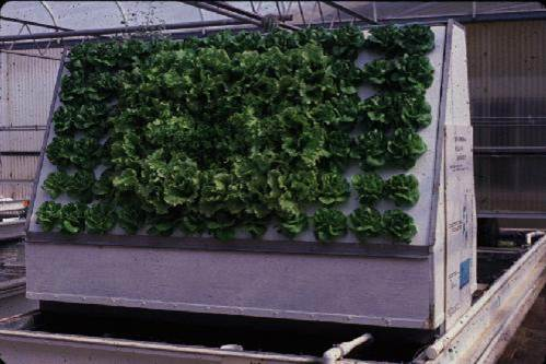 Vegetable production in a recirculating aquaponic system for Arizona aquaponics