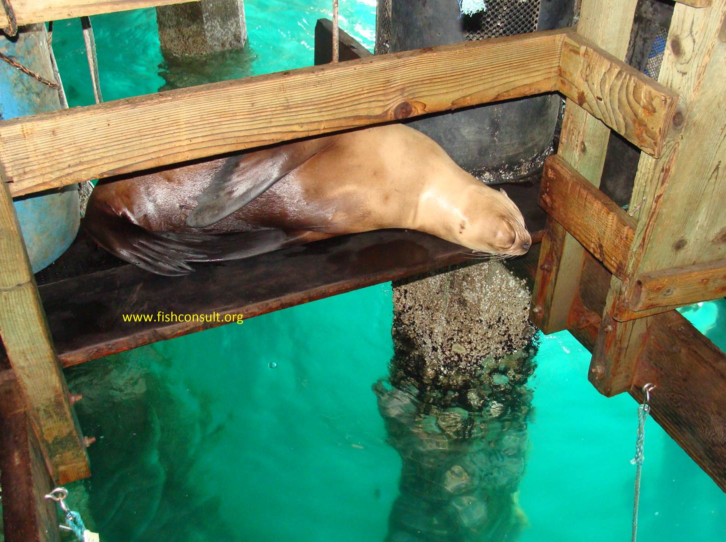 Napping sea lion in the territory of an abalone farm for Fish farms in california