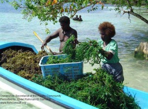 Seaweed farming in solomon islands fish consulting group for Solomons island fishing report