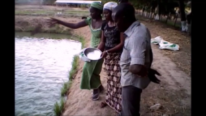Intensive pond culture of African catfish in Cameroon