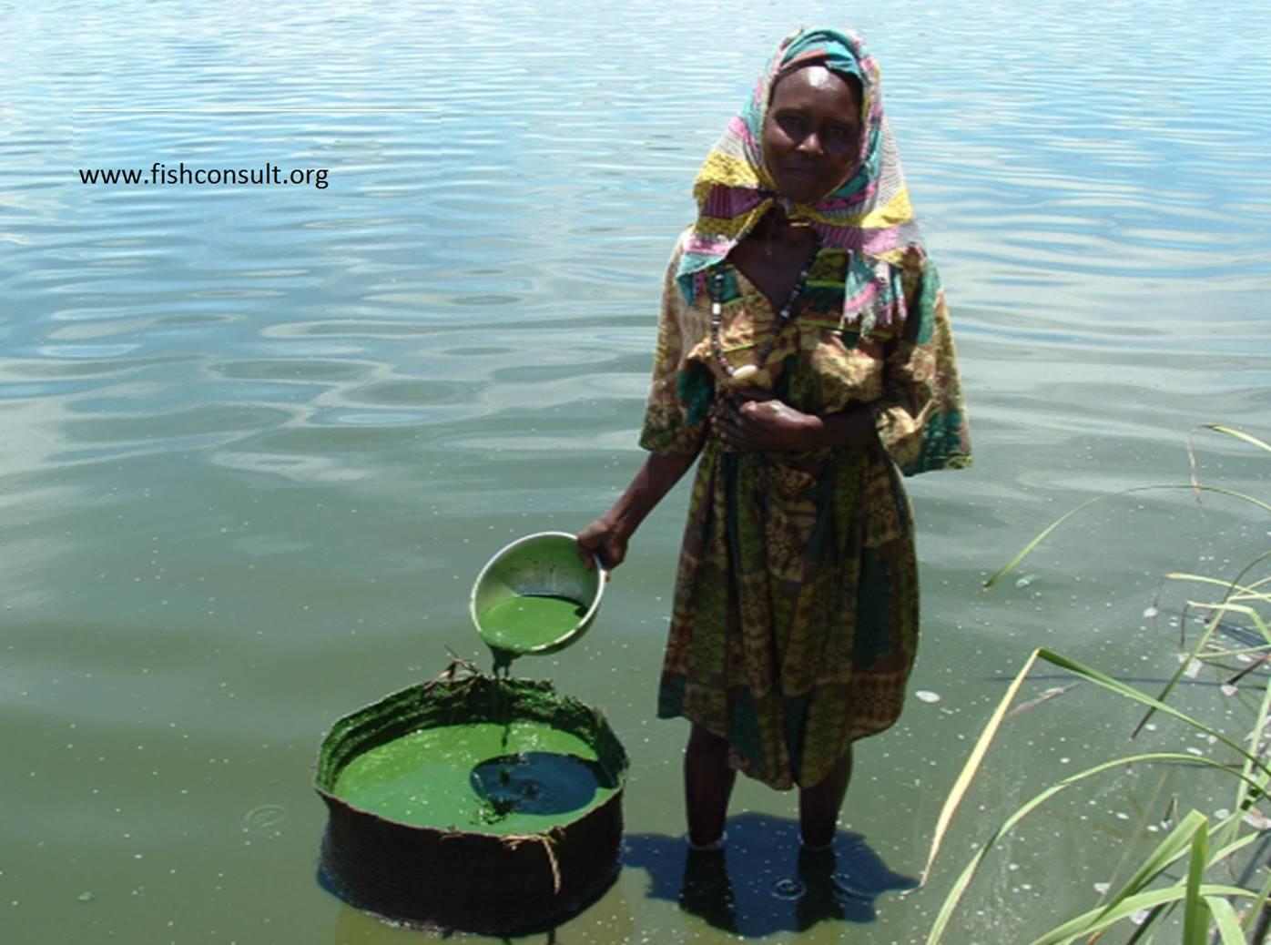 Zbieralnie Spirulina platensis w rejonie Kanem. Źródło: fishconsult.org, Zdjęcie: Aliadoumadji Rimadoum (Chad)
