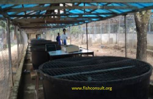 Tank culture of african catfish clarias gariepinus in a for Fish farming tanks