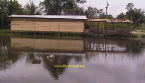 Integrated pigs into fish farming in Cameroon (02)