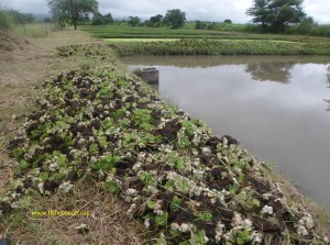 a-typical-fish-pond-in-malawi