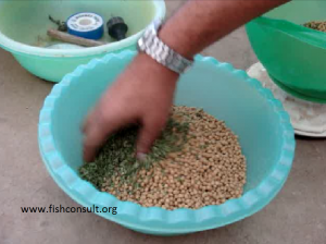 Azolla in tilapia feed in aquaponics in Egypt (2)